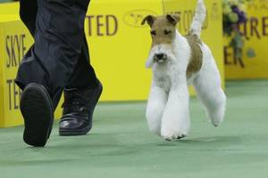 2014 Westminster Kennel Club Dog Show Results: Sky Wire Fox Terrier